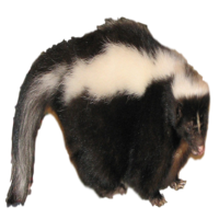 Skunk Removal Michigan