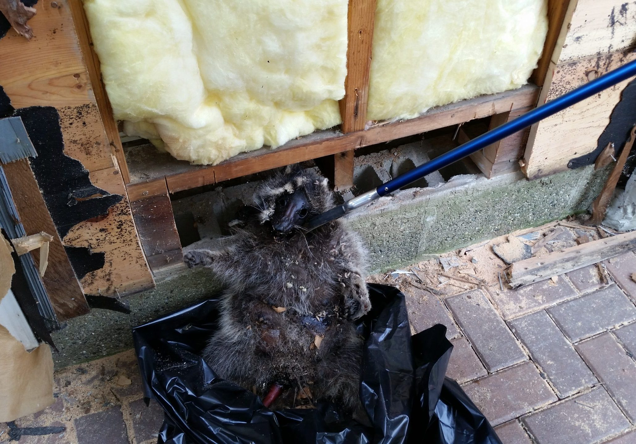 Raccoon Damage in a homeowners attic