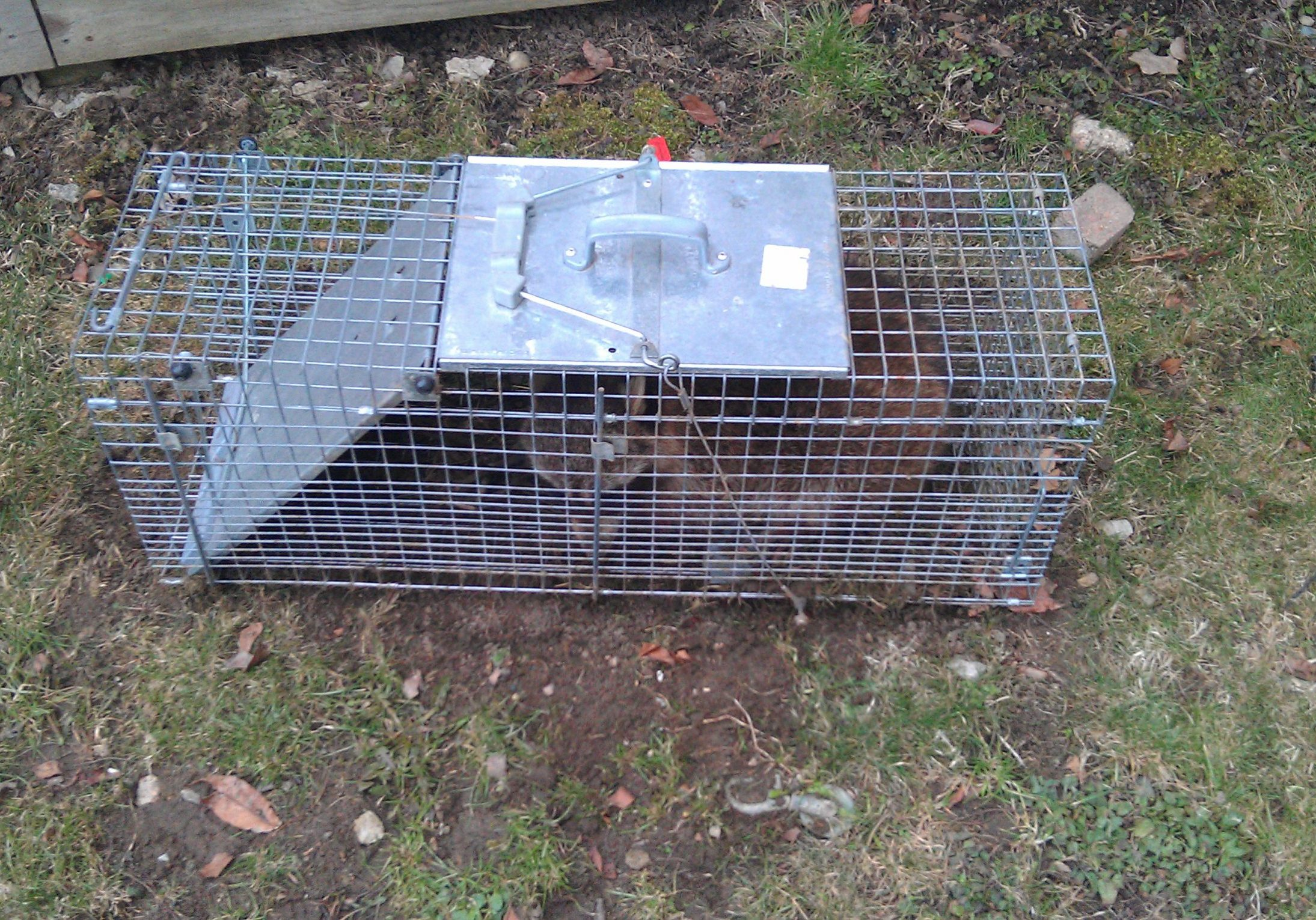 Using a live trap to catch a raccoon